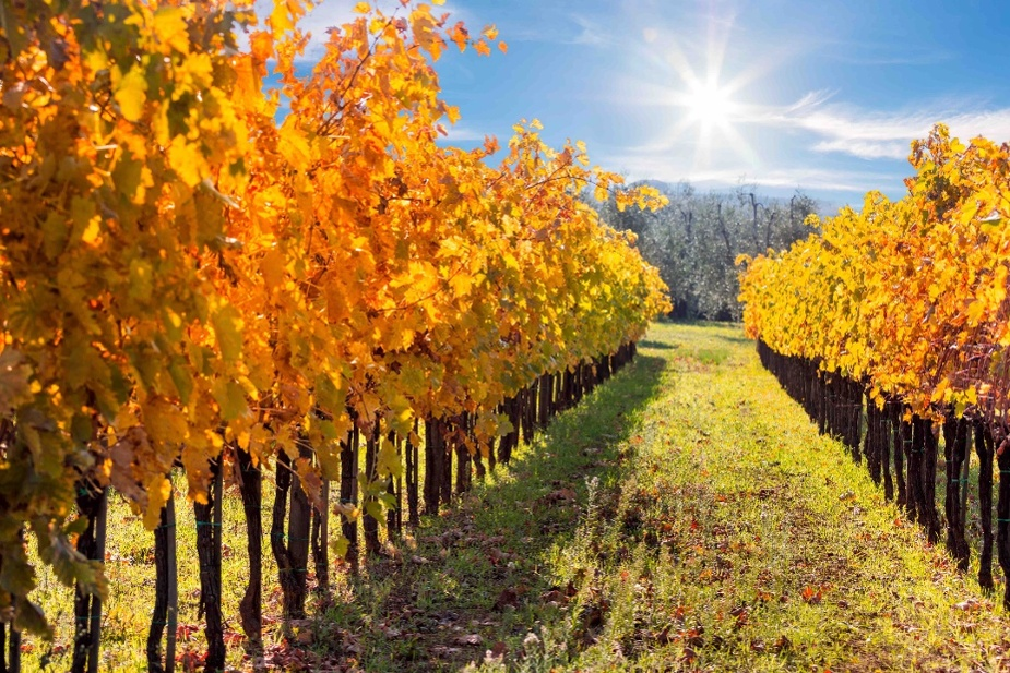 Fall_Tuscany_Vineyard-1-1
